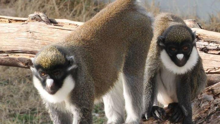 Un detenido y dos investigados por el robo de dos primates de un centro de rescate