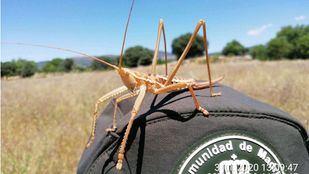 Localizada en Colmenar del Arroyo una población de 'saga pedo', un insecto en peligro de extinción