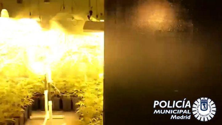 Plantación de casi 500 plantas de marihuana en Puente de Vallecas