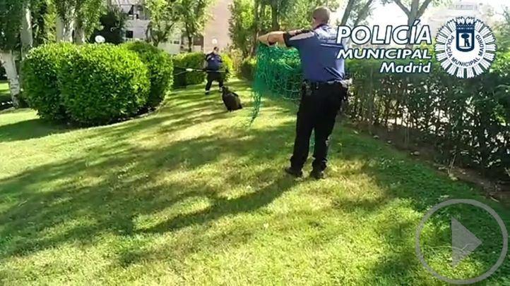 Rescatan un buitre en unos jardines de Canillas
