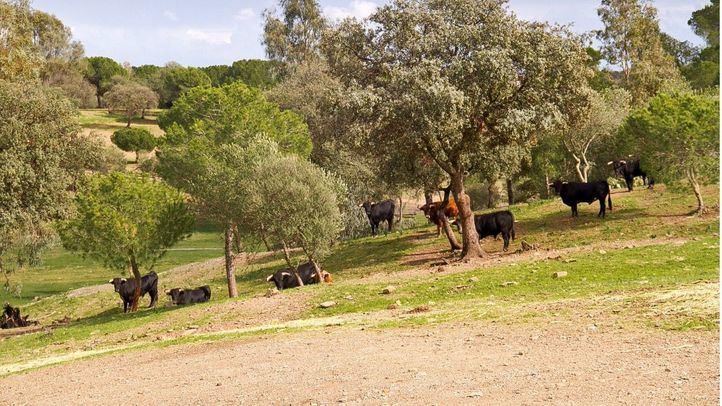 Localizados cuatro toros que huyeron hace dos semanas de una finca de Ciempozuelos