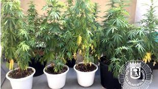 Requisadas diez plantas de marihuana en una azotea