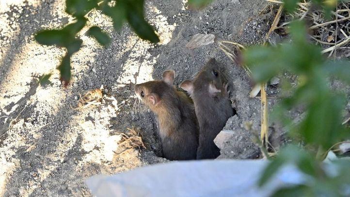 Suciedad, ratas y basura: así se encuentran los alrededores del intercambiador de Conde de Casal
