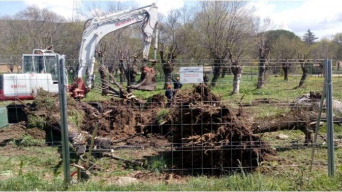 La construcción de un geriátrico en Guadarrama deriva en la muerte de medio centenar de fresnos
