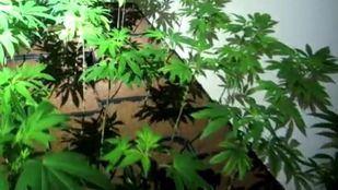 Plantas de marihuana, en una imagen de archivo