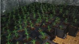 Plantación de marihuana en un piso okupado en Vallecas