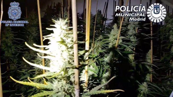 Localizada una plantación de marihuana con más de 630 plantas en un piso de Carabanchel
