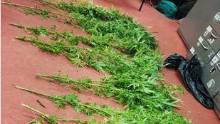 La Policía ha localizado una gran cantidad de plantas de marihuana en un piso en Latina.