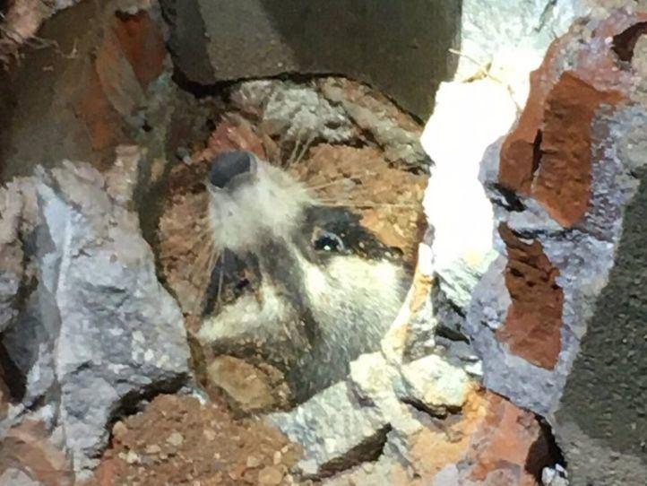 Rescatado un mapache atrapado en una cañería de Torres de la Alameda
