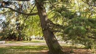 Las inclemencias ponen a prueba la conservación de los árboles de Madrid