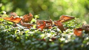 El otoño trae consigo el dispositivo especial de recogida de la hoja