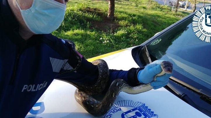 Atrapada en Tetuán una boa constrictor de 1,45 metros que escapó de una casa