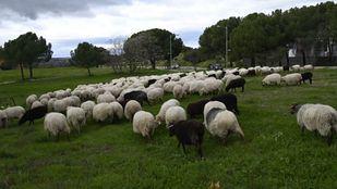 Las ovejas de la Sierra Norte regresan a la Casa de Campo atravesando la Ciudad Universitaria