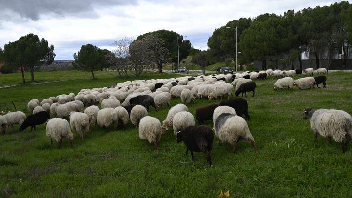 Las ovejas de la Sierra Norte retornan a la Casa de Campo