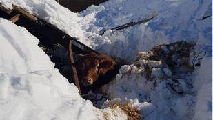 Un ternero atrapado en la nieve tras la borrasca Filomena.