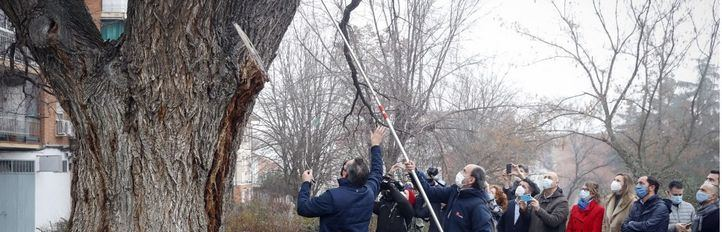 La Comunidad de Madrid clonará árboles centenarios y singulares derribados por 'Filomena'