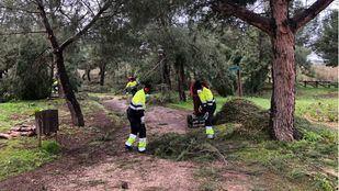 El Ayuntamiento de Arroyomolinos comienza con los trabajos de reacondicionamiento de los pinares y espacios naturales afectados por el temporal Filomena