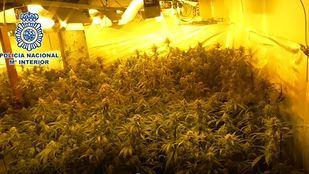 Desmanteladas por segunda vez dos plantaciones de marihuana en la Cañada