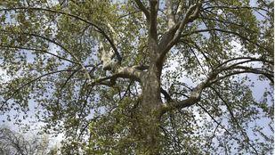 El plátano de sombra, majestuoso árbol singular