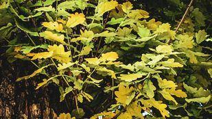 El roble, singular Árbol Singular del Real Jardín Botánico