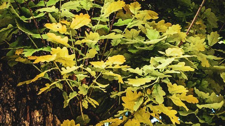 El roble, un singular árbol singular del RJB