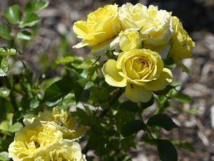 Las rosas de los Jardines de San Francisco dan color a La Latina