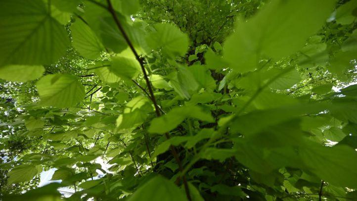 El tilo, el árbol singular medicinal del RJB