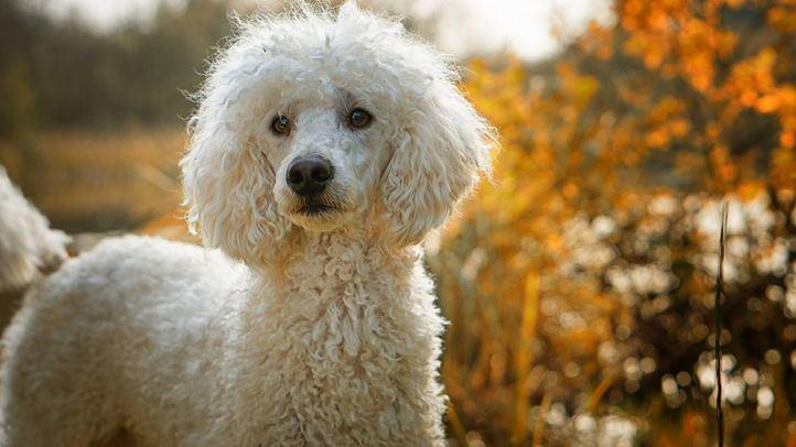 Detectado en Madrid el primer caso de variante británica en un perro