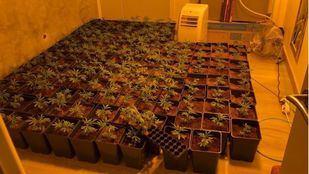 Policía local Parla se incauta de 150 plantas de marihuanas en un piso tras un aviso vecinal.