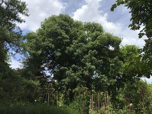 El almez, el multiusos árbol singular del Real Jardín Botánico
