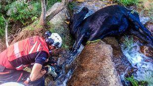 Agentes del GERA rescatan a una vaca atrapada entre dos piedras