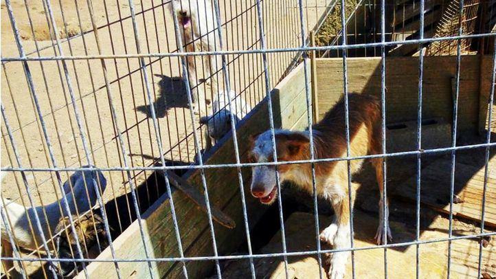 Perro utilizado para la caza en una jaula de hacinamiento