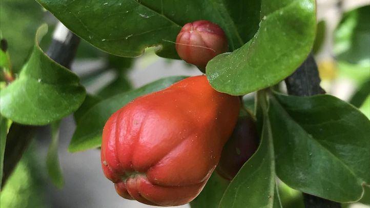 El granado, un árbol singular del Botánico que es historia viva de España