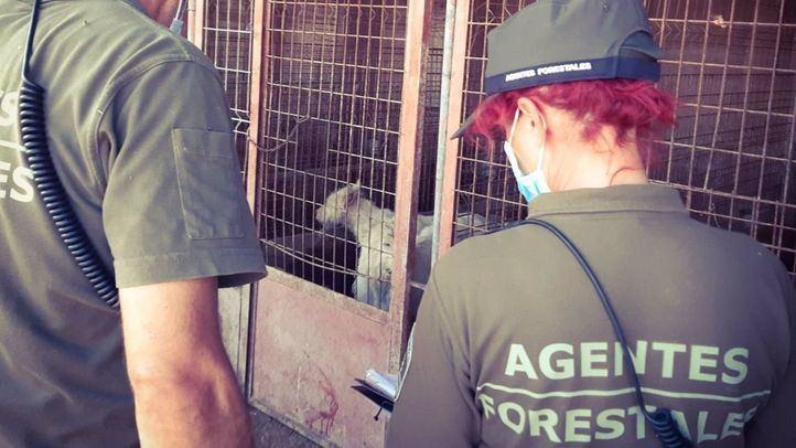 Agentes forestales hallan los cadáveres de 15 cachorros y 87 perros heridos y malnutridos en una finca de Torrelaguna
