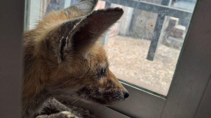 Rescatado un zorro que había quedado atrapado en la ventana de una casa de Hoyo de Manzanares