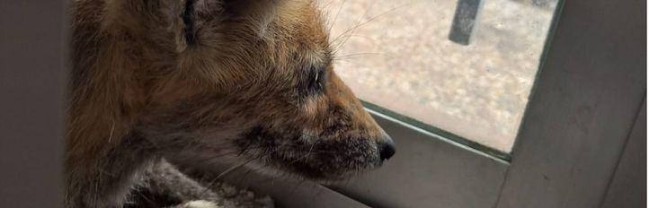 Rescatado un zorro que había quedado atrapado en una ventana de Hoyo de Manzanares