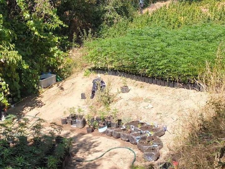 Intervenidas 3.345 plantas de marihuana y 2,9 kilos de cogollos en el embalse El Atazar