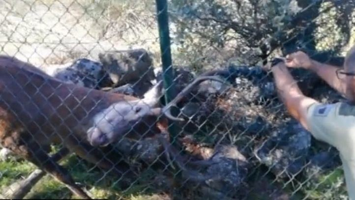 Rescatan un ciervo atrapado en una alambrada metálica en Hoyo de Manzanares