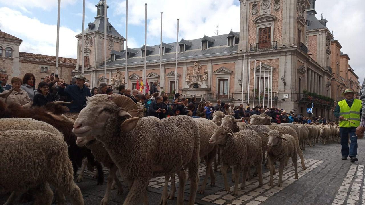 Mil ovejas pasarán este domingo por el centro de Madrid en la XXVIII Fiesta de la Trashumancia