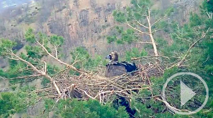 La cámara web que permite seguir en directo la vida de una pareja de buitres negros en la Sierra de Guadarrama