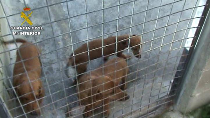 La Guardia Civil inmoviliza a 158 perros en un criadero ilegal en el norte de la región
