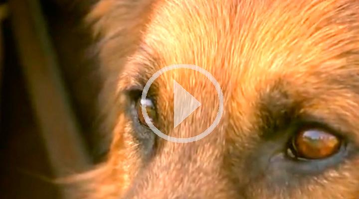 Hulk, perro de protecci�n para v�ctimas de violencia de genero