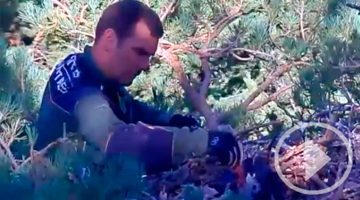 Un agente forestal sube al nido de un abanto para alimentarlo