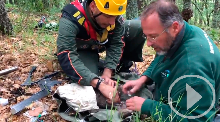 Anillamiento de buitre negro por agentes forestales