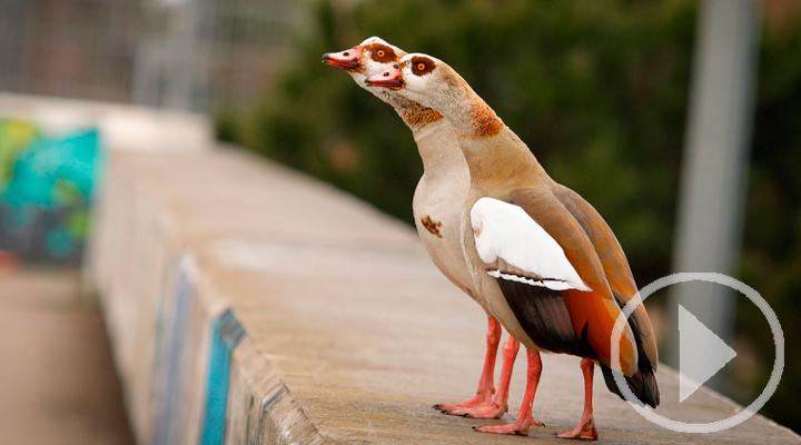 El Día de las Aves recuerda que su vuelo no debe decaer