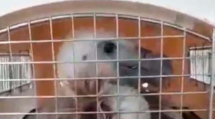 Rescatado un buitre leonado de una piscina particular en Manzanares El Real