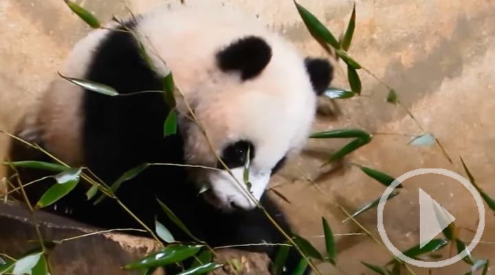 Chulina da su primer paseo por la pradera del Zoo