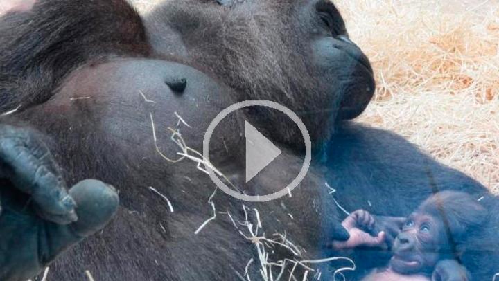 Un nuevo nacimiento de gorila amplía la familia de Zoo Aquarium de Madrid