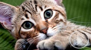 Los gatos 'víctimas colaterales' del COVID-19