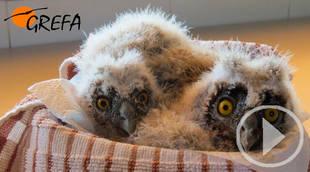 GREFA denuncia que miles de crías de animales salvajes corren peligro de morir este verano en la Comunidad de Madrid